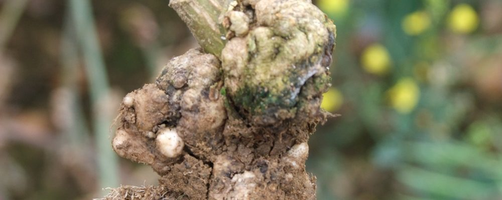 Galling prospect of club root cpm magazine for Soil borne diseases